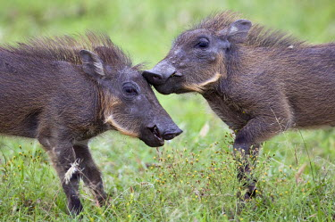 KEN5979 Kenya, Narok district, Masai Mara. Two warthog piglets play in Masai Mara National Reserve.