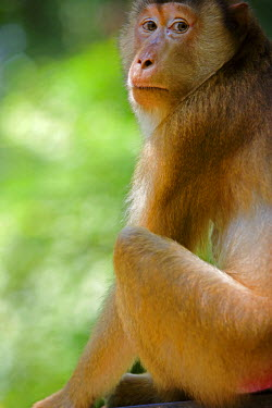 MAY0068 Malaysia, Borneo, Sabah, Sandakan. A monkey in the rainforest at the Sepilok Orangutan Sanctuary
