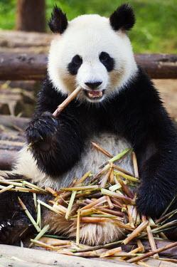 CH2695 China, Sichuan Province, Chengdu city. Panda eating bamboo shoots at a Panda reserve Unesco World Heritage site.
