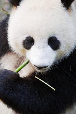 CH2696 China, Sichuan Province, Chengdu city. Panda eating bamboo shoots at a Panda reserve Unesco World Heritage site.