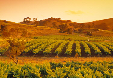 AS02066 Vineyard, Barossa Valley, South Australia, Australia