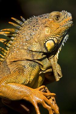 BL01132 Belize, San Iguacio, Green Iguana