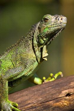 BL01133 Belize, San Iguacio, Green Iguana