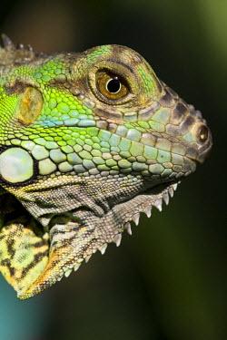 BL01145 Belize, San Iguacio, Green Iguana