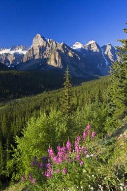 CA08168 Wildflowers and Valley of 10 Peaks (Wenkchemna Peaks) at sunrise, Banff National Park, Alberta, Canada