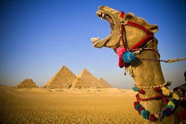 EG01219 Camel at the Pyramids, Giza, Cairo, Egypt