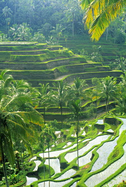 ID01009 Rice Fields, Central Bali, Indonesia