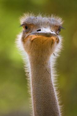 KN01053 Ostrich, Lewa Wildlife Conservancy, Kenya