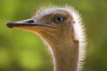 KN01054 Ostrich, Lewa Wildlife Conservancy, Kenya