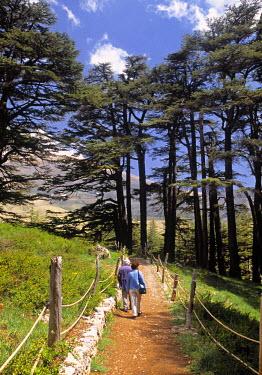 LB02020 Cedar Trees, Bcharre, Kadisha Valley, Lebanon