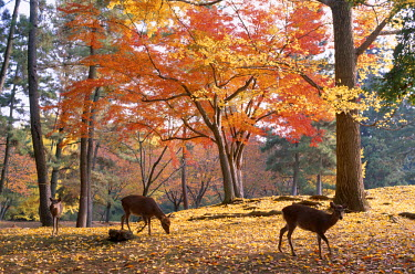 TPX2192 Nara Park / Deer & Autumn Leaves, Nara, Honshu, Japan