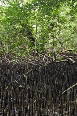 MI01020 Mangroves, Carp Island, Palau, Micronesia