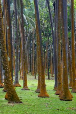 RE01067 Reunion Island, East Reunion, Anse des Cascades, Palm trees