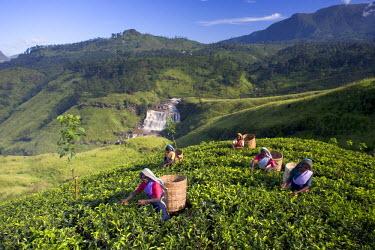 SL01062 Tea Plantation, Talawakele, Nuwara Eliya, Hill Country, Sri Lanka