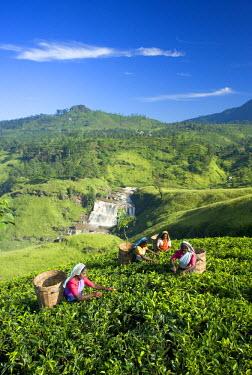 SL01063 Tea Plantation, Talawakele, Nuwara Eliya, Hill Country, Sri Lanka