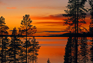 SW03032 Laponia Trees, Lappland, Sweden