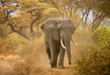 TZ02060 Loxodonta africana (Elephant), Lake Manyara National Park, Tanzania