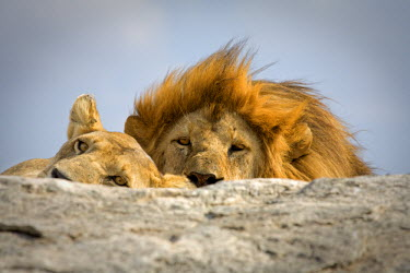 TZ02073 Panthera leo (Lion), Serengeti National Park, Tanzania