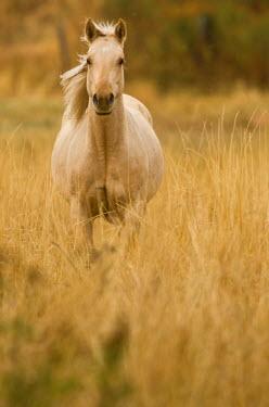 US32036 Horse, Montana, USA
