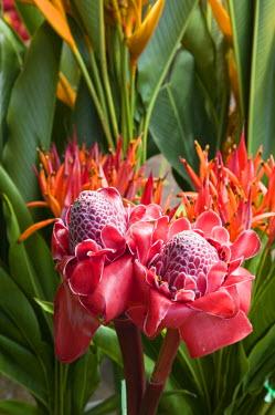 VA01021 Vanuatu, Efate Island Port Vila, Waterfront Market-Torch Ginger (etlingera elatior)