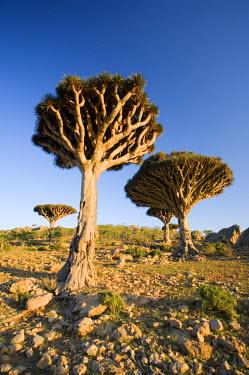 YM01014 Dragonblood tree (Dracaena Cinnabari), Homil Plateau, Socotra Island, Yemen