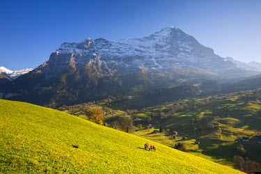 CH02410 Cows Grazing in Alpine Meadow, Eiger & Grindelwald, Berner Oberland, Switzerland