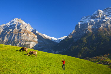CH02411 Woman Photographing Cows in Alpine Meadow, Wetterhorn & Grindelwald, Berner Oberland, Switzerland