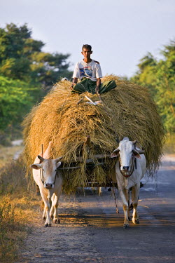 MYA1122 Myanmar. Burma. Bagan. A farmer takes home an ox-cart load of rice straw for his livestock .
