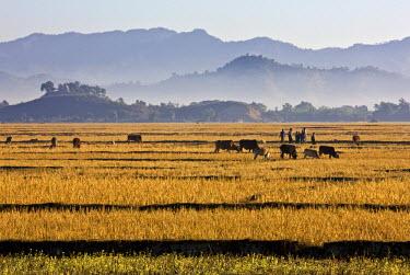 MYA1377 Myanmar, Burma, Mrauk U. Bright yellow fields of rice stubble contrast with a series of misty blue mountain ridges between Mrauk U and the Lay Myo River.