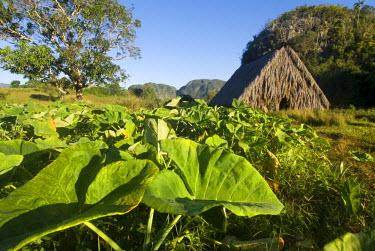 CUB1334 Cuba, Vinales. Tobacco plantation, Vinales Valley