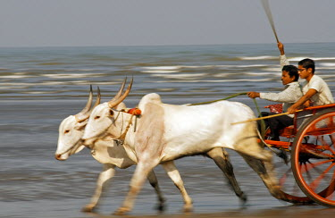 IND5711 India, Maharashtra. Racing oxen exercising on the beach.