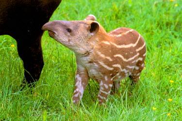 SA04_GJE0011_M Brazil. Brazilian Tapir (Tapirus terrestrias)