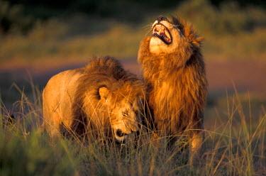 AF21_AWO0012_M Kenya, Masai Mara National Park. Pair of African Lions.