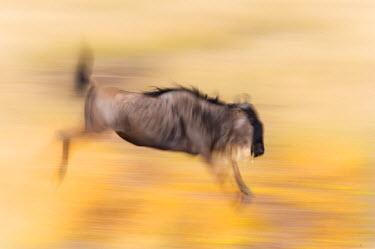 AF21_BJA0013_M Kenya, Masai Mara. Abstract of wildebeest jumping