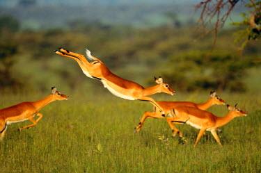 AF21_AWO0036_M Impala, Aepyceros melampus, Mara River, Kenya