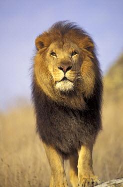 AF21_SWE0001_M Kenya, Male African lion (Panthera leo)