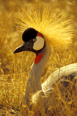 AF42_MWE0004_M South Africa African Crowned Crane (Balearica pavonina)