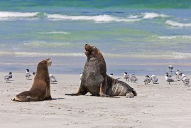 AUS0865 Australia, South Austrailia. A male Australian Sea Lion guards a female until she comes into oestrus. There remain about 10,000 of these endangered pinnipeds in the world, living on the southern coast...