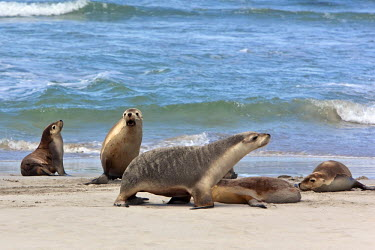 AUS0866 Australia, South Austrailia. Australian Sea Lions on a beach at Kangaroo Island.  There remain about 10,000 of these endangered pinnipeds in the world, living on the southern coast of Australia.