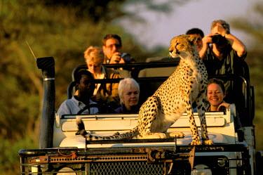 AF05_POX0038_M Botswana, Okavango Delta. Cheetah (Acinonyx jubatus) on tourist Land Rover