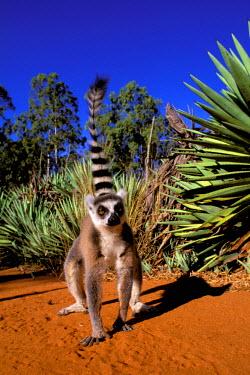 AF24_POX0079_M Madagascar. Ring-tailed lemur (Lemur catta)