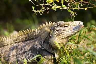 CA42_GJO0068_M Iguanas, Little Cayman, Cayman Islands, Caribbean.