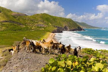 CA32_GJO0172_M Wild goat herd overlooking Frigate Bay, southeast peninsula, St Kitts, Caribbean.