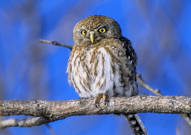 AF52_BJA0003_M Zimbabwe. Close-up of pearl spotted owl on branch