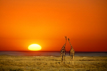 AF31_JMI0037_M A Giraffe couple walks into the sunset, in Namibia's Etosha National Park