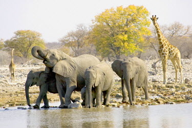 AF31_JRE0052_M Namibia, Africa: African Elephants and Giraffe at watering hole, Halali Resort, Etosha Pan