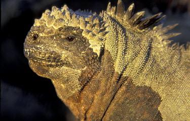 SA07_AWO0001_M SA, Ecuador, Galapagos Islands. Marine iguana (Amblyrhynchus crestatus)