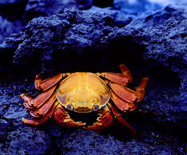 SA07_BJA0010_M Ecuador, Galapagos Islands. Detail of Sally lightfoot crab on black lava