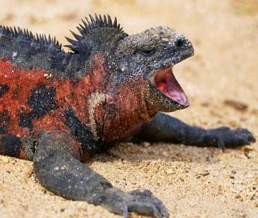 SA07_BJA0026_M Ecuador, Galapagos Islands. A marine iguana yawning