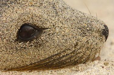 SA07_POX0398_M Galapagos sealion (Zalophus wollebaeki). Gardner Bay, Espaûola (Hood) Island, Galapagos Islands. ECUADOR.  South America.